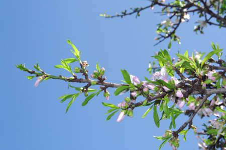 almond bud: Springtime Stock Photo