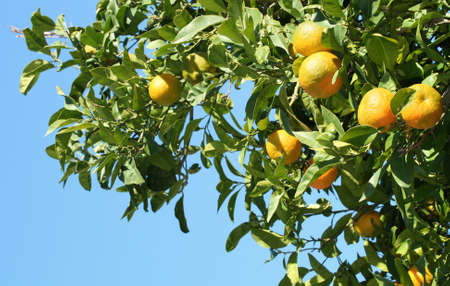graft: Bitter orange tree