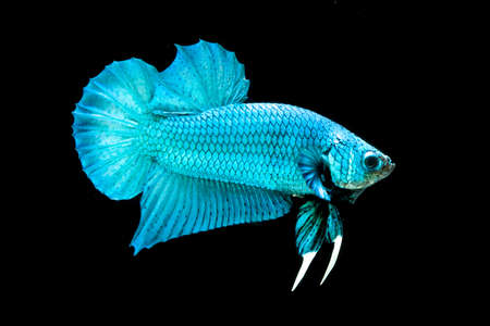 blue siamese: Blue Siamese fighting fish, Betta Splendens