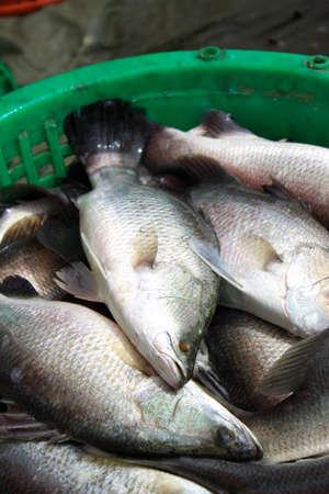 barramundi: Barramundi fish for cooking in maket from thailand.