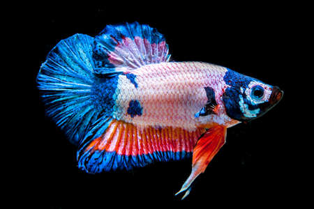 Betta fish on the black background. photo