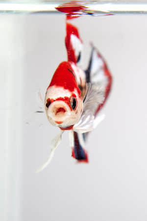 The front of the betta fish, Siamese Fighting Fish photo