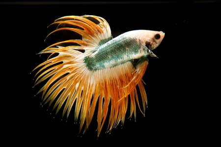 caudal: The betta fish on the black background, Siamese Fighting Fish