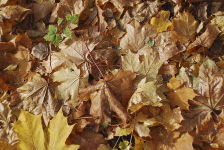 Background from maple leaves Stock Photo - 4895421