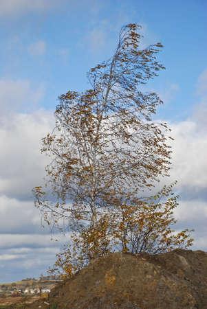 Lonely birch photo