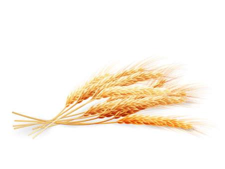 Spighe di grano isolato su sfondo bianco