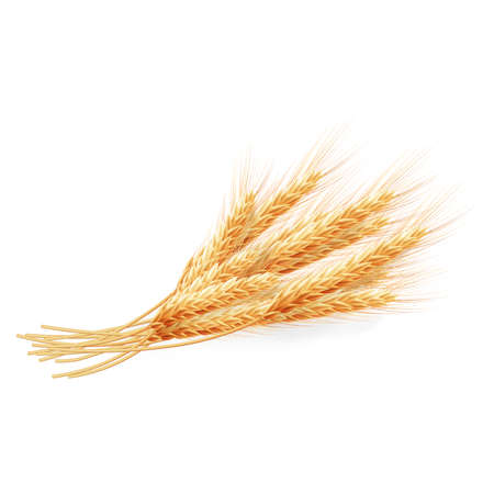 Wheat ears isolated on white background, agricultural illustration. EPS 10 vector file included