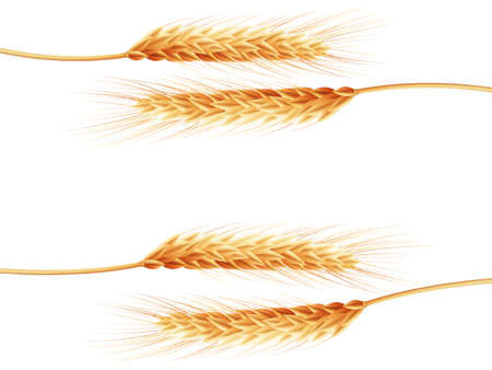 Wheat ears isolated on the white background.   Vector