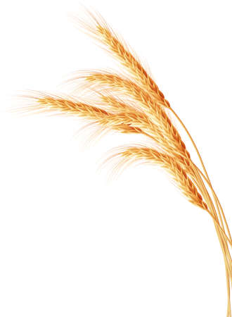 whole grain: Wheat ears isolated on the white background.   Illustration