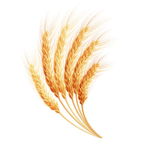 ear: Wheat ears.   Illustration