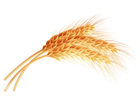 Wheat isolated on white close up. EPS 10 vector file included