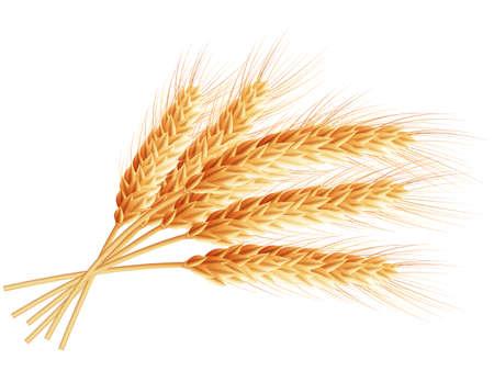 espiga de trigo: Oídos del trigo aislados sobre fondo blanco.