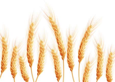 wheat grass: Field of wheat on white.
