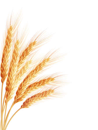 Spikelets and grains of wheat on a white background.