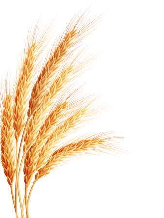 Wheat isolated on white. 矢量图像