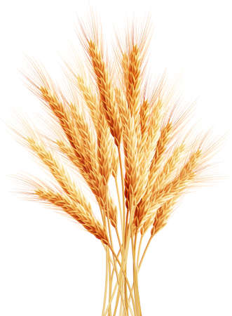 wheat isolated: Stalks of wheat ears.    Illustration