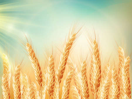dia soleado: Campo de trigo dorado y el día soleado. archivo vectorial incluido