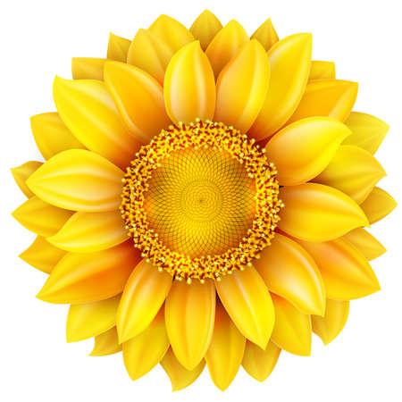 sunflowers: Sunflower, high quality .   Illustration