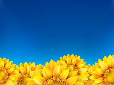 agronomics: Field of sunflowers and blue sky.