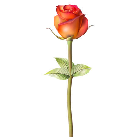 freshens: Orange red Rose. EPS 10 vector file included