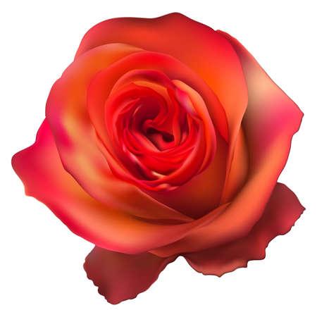 orange rose: Orange Rose Flower isolated on white background. EPS 10 vector file included Illustration