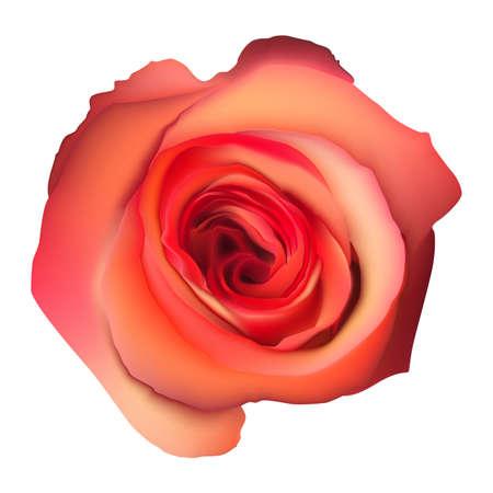 flor aislada: Naranja Rosa Flor aislada en el fondo blanco. Vectores