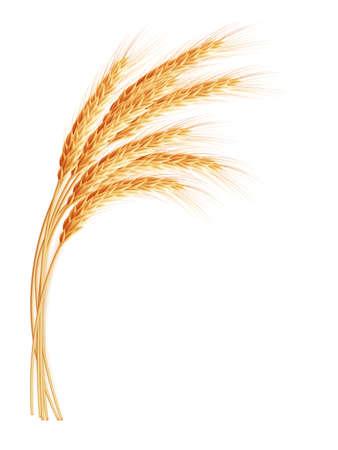 cebada: Espigas de trigo con el espacio para el texto. Archivo EPS 10 vector incluido Vectores
