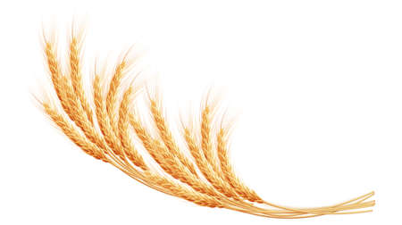 wheaten: Wheat ears with space for text. EPS 10 vector file included