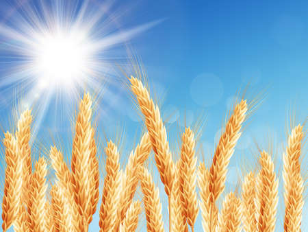 grain fields: Gold wheat field and blue sky. EPS 10 vector file included Illustration