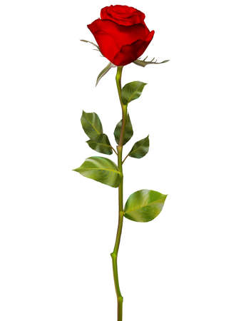 red and white: Red Rose isolated on white. EPS 10 vector file included
