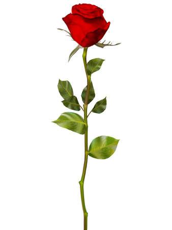 Rosa roja aislada en blanco. archivo vectorial EPS 10 incluido Foto de archivo - 52420774