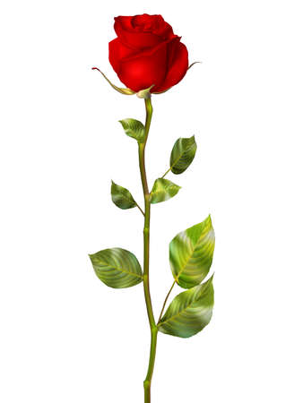 Beautiful colorful red Rose Flower isolated on white background. EPS 10 vector file included