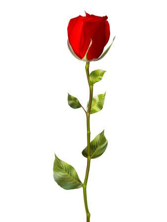 rojo: Sola rosa roja aislada en blanco. archivo vectorial EPS 10 incluido