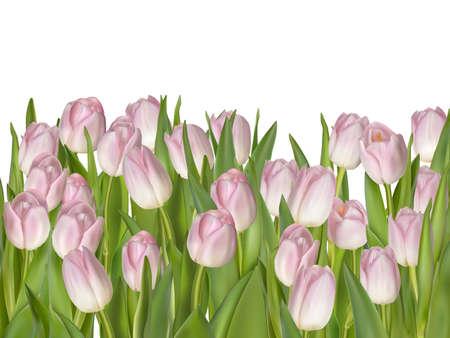 tulips isolated on white background: Spring tulips isolated on white background.
