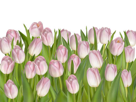 Colored Tulip Flowers Isolated on White Background.
