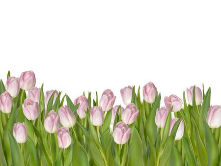 tulips isolated on white background: Pink tulips, white background.