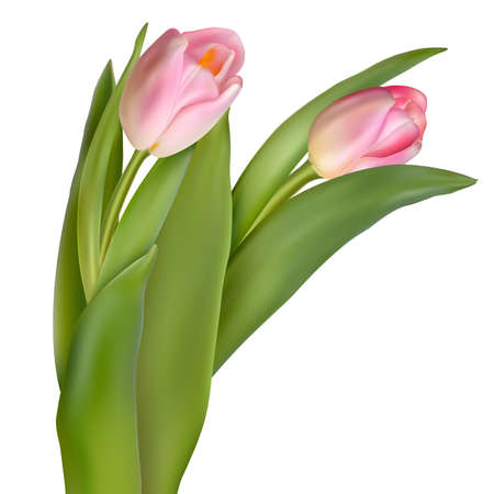 Deux fleurs de printemps. Tulipes isolé sur blanc. Vecteurs