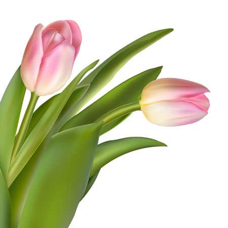 flowerhead: Pink tulip flowers isolated on white background. Illustration