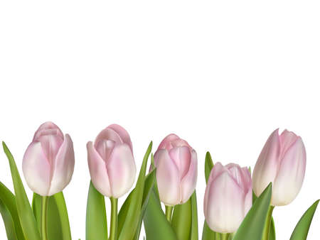 tulips isolated on white background: Pink flowers for border isolated on white background.