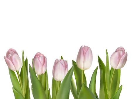 macro flowers: Tulips isolated on white.