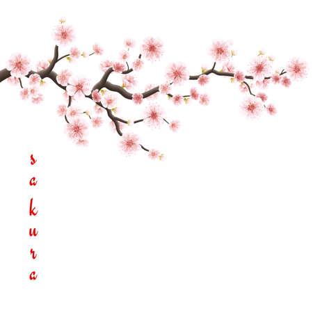 flores chinas: Sakura flores de fondo. aislado de flor de cerezo fondo blanco. Vectores
