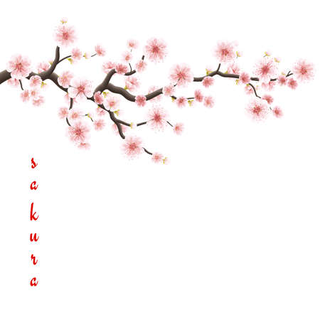 Sakura flowers background. Cherry blossom isolated white background.