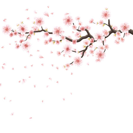 Nature background with blossom branch of pink sakura flowers. Template isolated on white background. 向量圖像