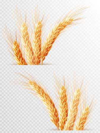 grain fields: Two Wheat ears isolated on a transparent background. EPS 10 vector file included