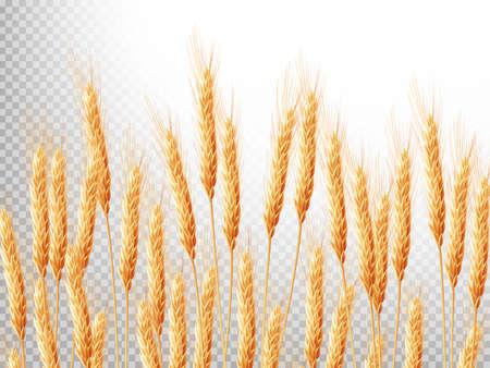 cultivo de trigo: Fondo horizontal con espigas de trigo. Ilustración de los cultivos. archivo vectorial EPS 10 incluido