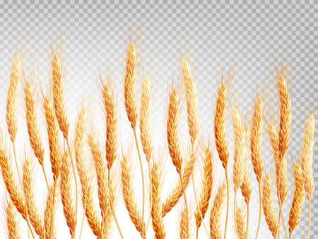 wheat isolated: Wheat isolated on a transparent background. EPS 10 vector file included Illustration