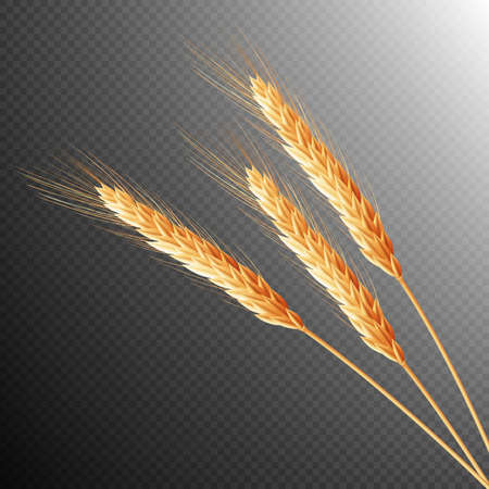 wheaten: Wheat ears isolated on transparent background with space for text.