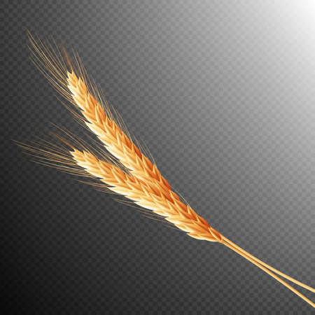 fervent: Wheat ears isolated on transparent background with space for text.