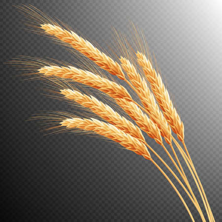 reaping: Wheat ears isolated on transparent background with space for text.