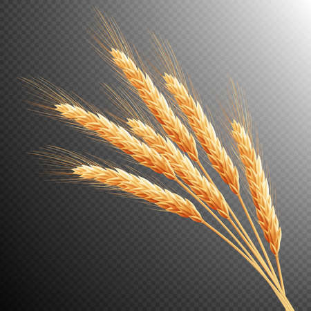 Wheat ears isolated on transparent background with space for text.